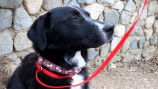 Adopted!  Gonzo Adorable Labrador Retriever In Los Angeles