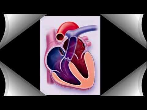 מבנה הלב