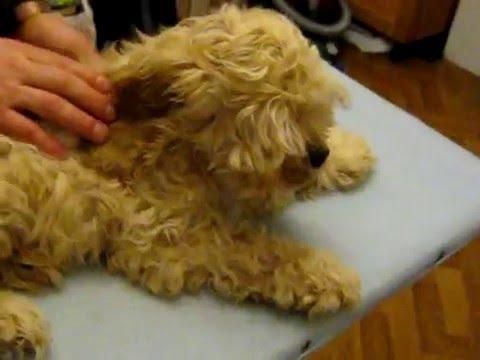 Кавалер Кинг Чарльз Спаниель ➠ Узнайте все о породе собаки - YouTube