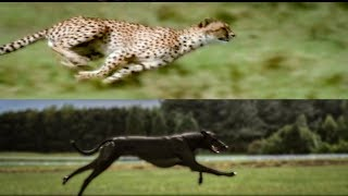Cheetah vs Greyhound Speed Test | BBC Earth