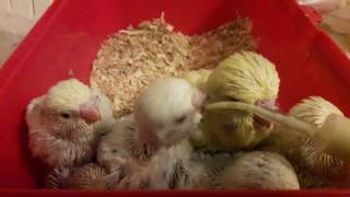 Вечернее подкармливание птенцов выставочных и обычных волнистых попугаев