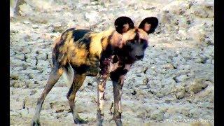 Дикая природа Африки Гиеновые дикие собаки не боятся людей Заповедник Нкорно