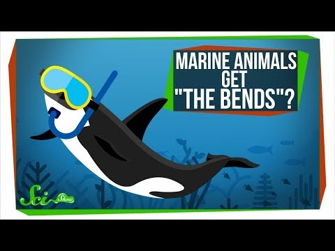 "Why Don't Marine Animals Get ""The Bends""?"