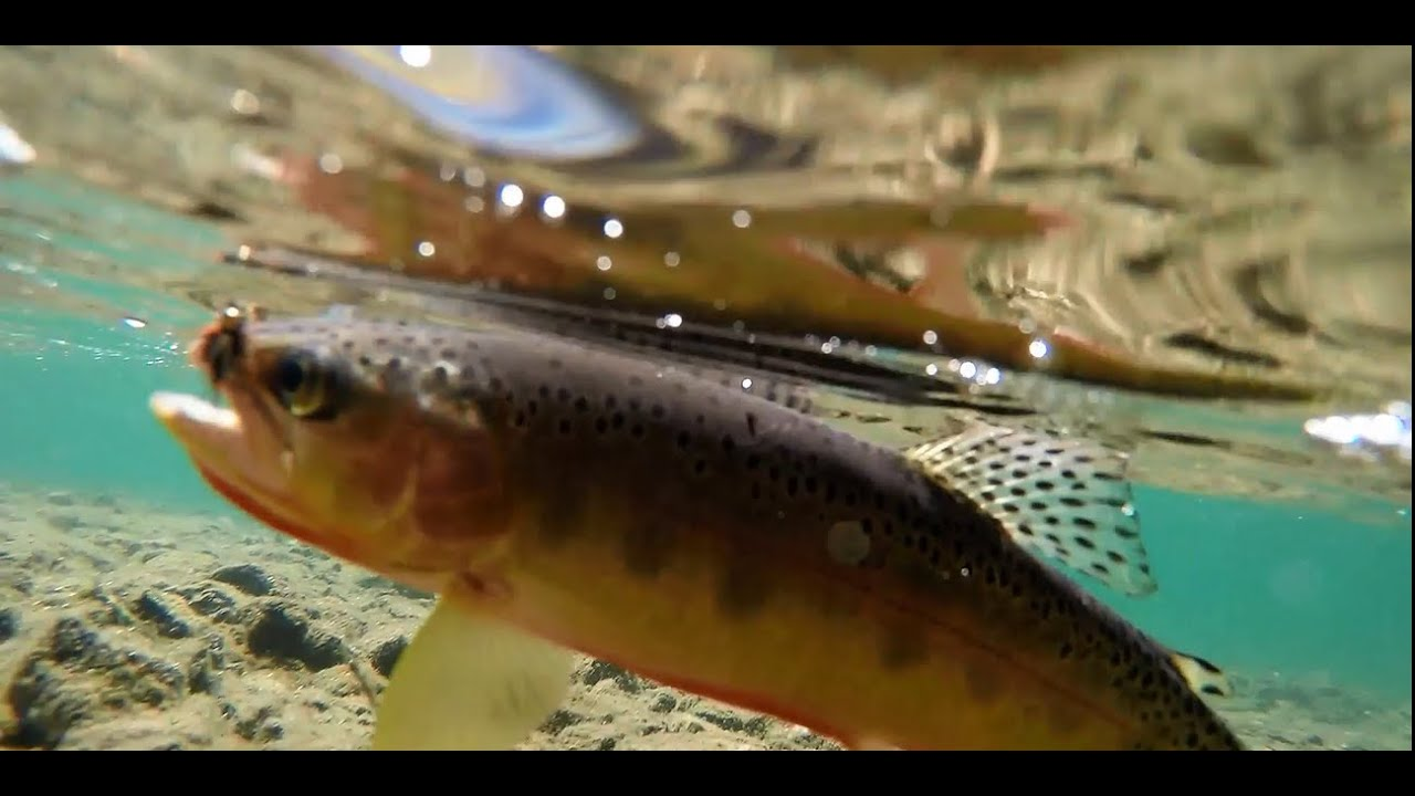 Fly fishing for golden trout in the high sierra of for Trout fishing southern california