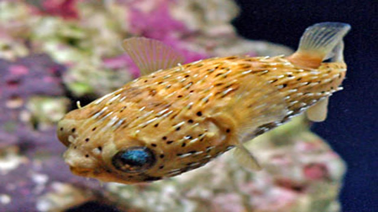 puffer fish tropical fish species youtube