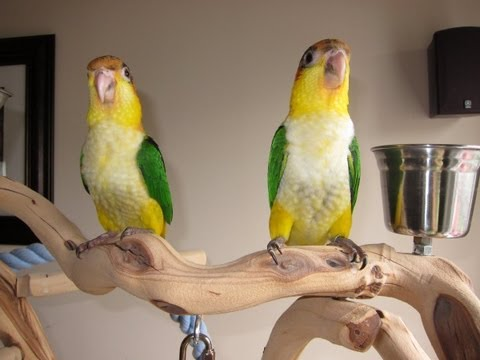 15 week old Baby White Bellied Caiques