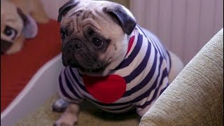 Pampered pugs have an enviable wardrobe thumbnail