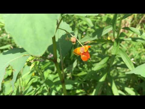 Identify Poison Ivy And Its Natural Cure Jewelweed