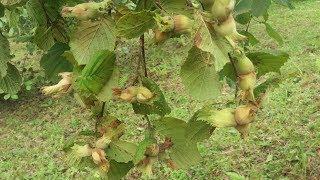 Trabzon'da Fındık Nasıl Toplanır Ayrıntılı Gösterim ( How to collect nuts )