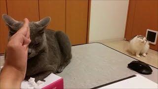 狂暴なティッシュ潰し猫すずまろが現れました。絶対にティッシュを取ら...