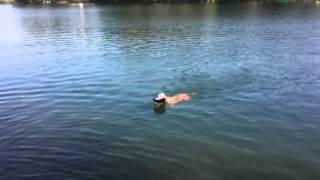 Hund Maya Weimaraner Sprung Ins Wasser