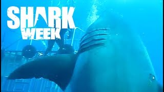 World's Largest Great White Shark Deep Blue | Shark Week