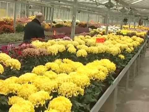 Chrysanthèmes: les fleuristes débordés