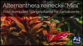 ALTERNANTHERA REINECKII MINI | rote kompakte Stängelpflanze für Farbakzente | AquaOwner