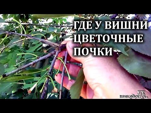 Как получать стабильный урожай вишни  .Где вишня закладывает цветочные почки.