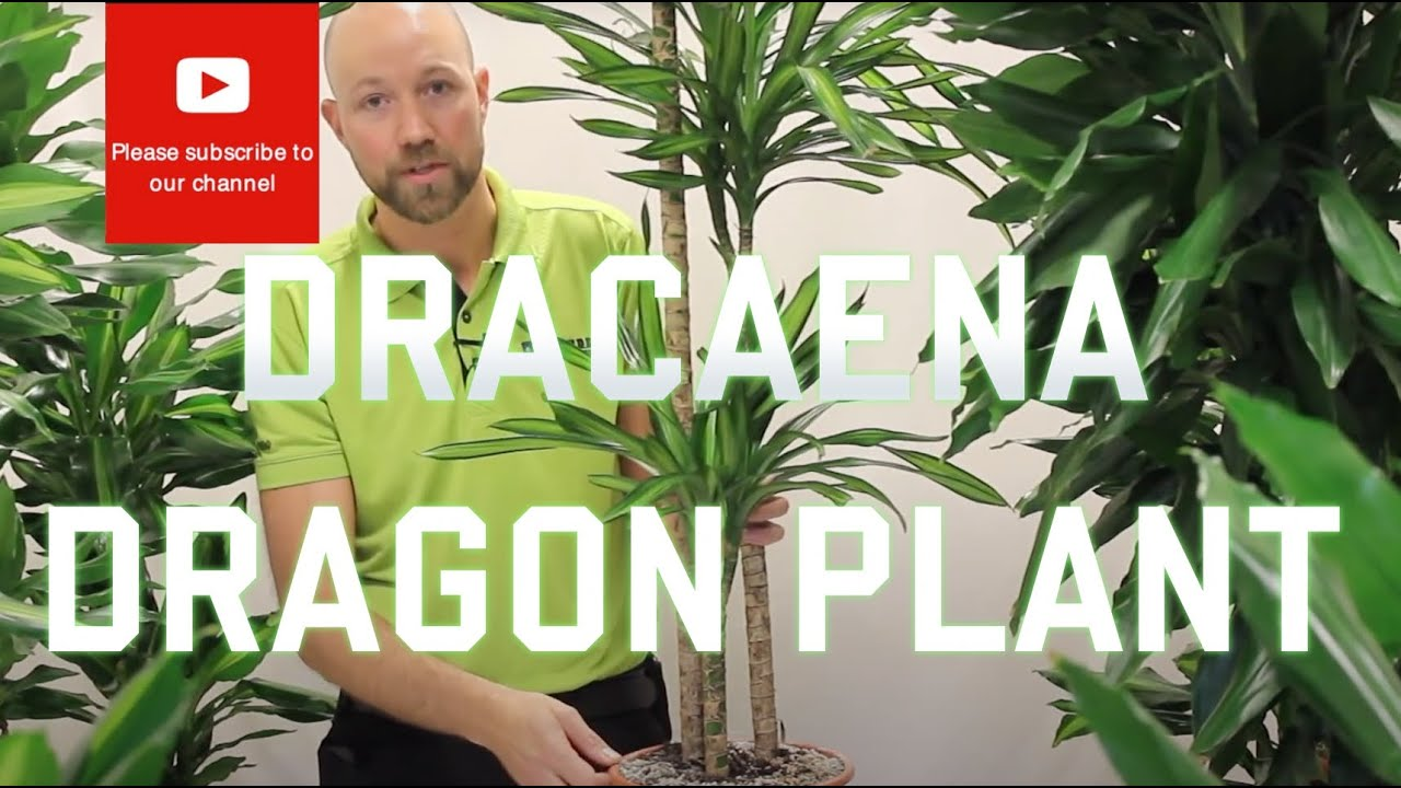 All You Need To Know About Dracaena Dragon Plant Most Varieties