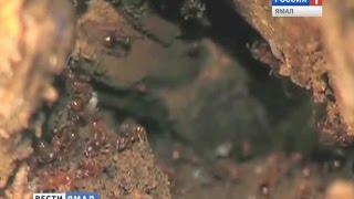 В центре Нового Уренгоя поселились рыжие лесные муравьи