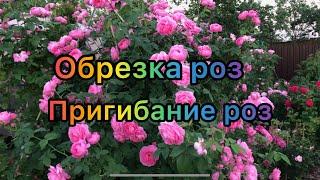 Объясняю принцип обрезки роз осенью на примере шраба James Galway пригибаю розу Louise Odier