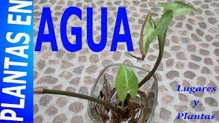 Plantas De Interior Cultivadas En Agua (Syngonium) || Lugares Y Plantas.