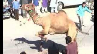 Camel Qurbani Nahr At F B  Area Block 4,