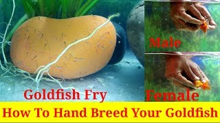 How to Hand Breed Your Goldfish