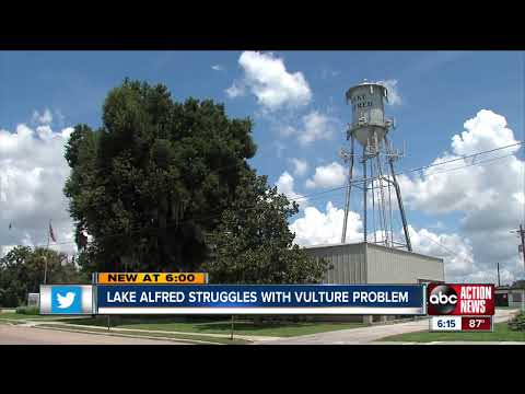 Lake Alfred struggles with vulture problem