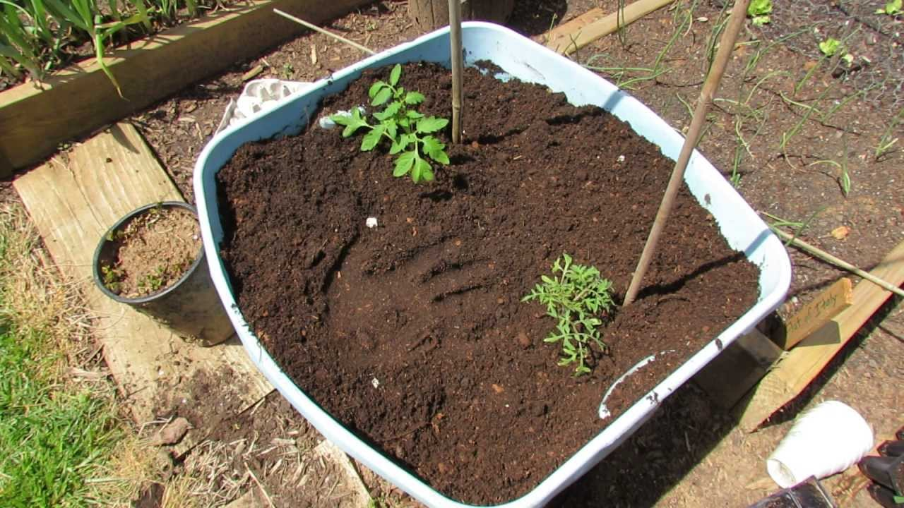 Planting Tomatoes In 18 Gallon Containers Preparing The Soil Egg Shells Rusted Garden 2017 You