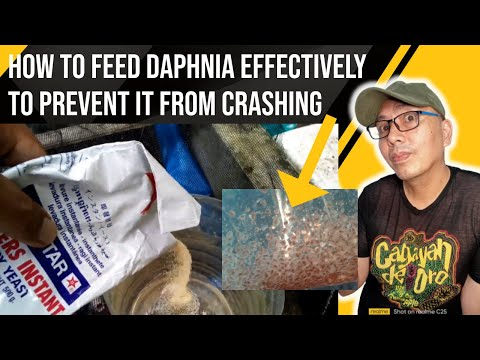 how to feed (daphnia magna) that you need to know 2017