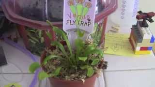 How to Care for a Venus Flytrap