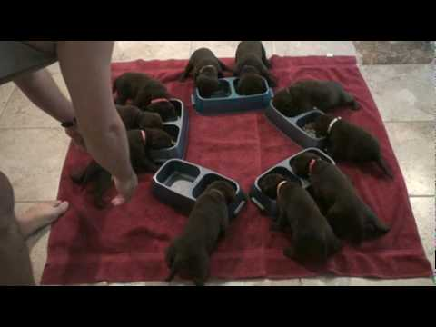 Day 23 - Mocha Is Happy to See Her Lab Puppies Finally Eating Puppy Food!