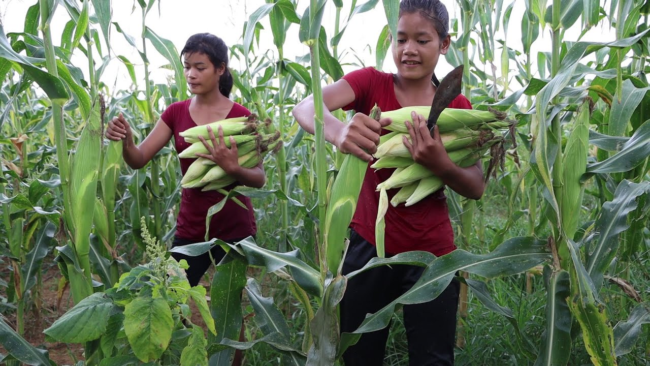 Survival skills: Find food meet Sweet corn for lunch near river - My Natural Food ep 75
