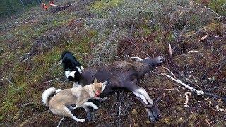 Охота #207 на лося, загонная