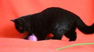 ПРЕДЛАГАЕМ: купить шикарного шотландского черного котенка Вы сможете в нашем Питомнике кошек.