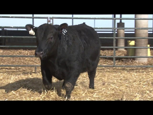 Schiefelbein Angus Farms Lot 141