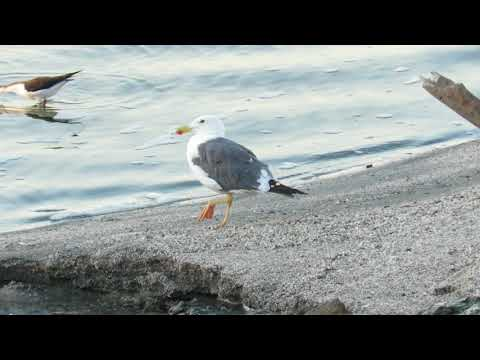 Yellow-footed Gull (Larus livens) Standing on the Shore of Salton Sea