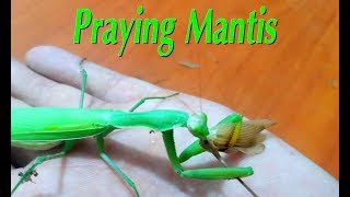Praying Mantis incredible insect with supernatural powers