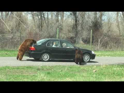 Bear on the Trunk at Yellowstone Bear World