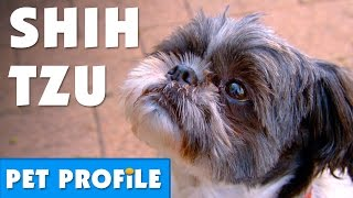Shih Tzu Pet Profile | Bondi Vet