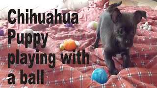 Chihuahua Puppy Playing With A Ball