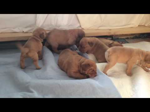Dogue de Bordeaux Pups 3 Weeks, 6 Days Old