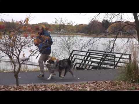 Cooper (Australian Shepherd) Boot Camp Dog Training Demonstration