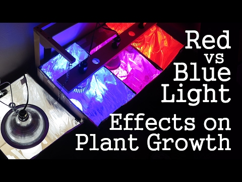 Experiment: Red Light vs Blue Light -How Spectrums Affect Plant GrowthLED vs CFL
