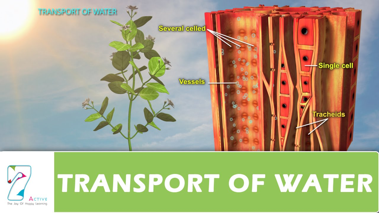 TRANSPORT OF WATER - YouTube