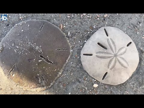 10 Facts About Sand Dollars — And How Killing Them Could Cost You