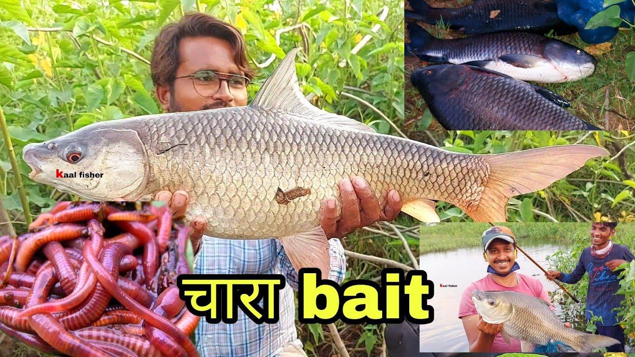 सोचा ना था सारी मछलियां इस पर ही लगेगी! 🐟 Rohu katla mirgal fishing bait chara || fish hunting