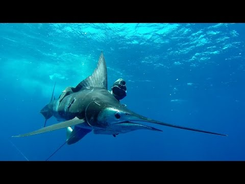 SPEARFISHING MARLIN East Coast Australia