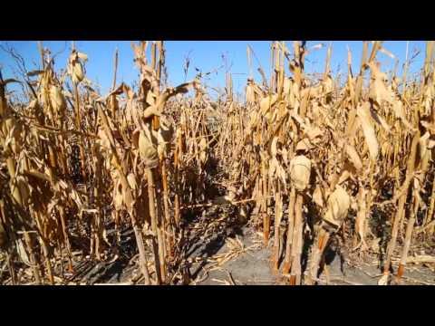 Iowa Corn: Exports
