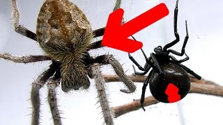 Redback Spider Vs Giant Hairy Scary Orb Spider Amazing Sucking Fluids Spider Feeding