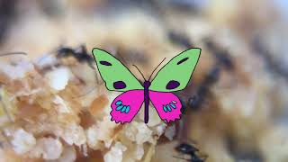 Secret Drum Band - Multispecies (Ants)