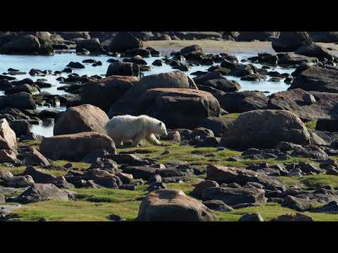 Very rare! Polar bear triplets at Churchill Wild's Seal River Heritage Lodge!